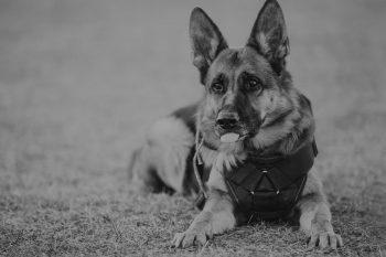 K9 unit guard dogs